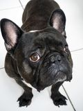 Touching look of a little black French bulldog two years old royalty free stock photo