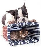 French Bulldog  and little kitten Royalty Free Stock Photography