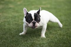French Bulldog. The French FRENCH BULLDOG is a lively, intelligent and muscular dog with heavy bones, smooth hair, compact structure, medium or small size. The stock photography