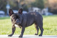 French Bulldog. The French Bulldog is a lively, smart, muscular dog with heavy bones, smooth hair, compact structure, medium or small size. The expression Royalty Free Stock Photography