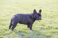 French Bulldog. The French Bulldog is a lively, smart, muscular dog with heavy bones, smooth hair, compact structure, medium or small size. The expression Stock Photography