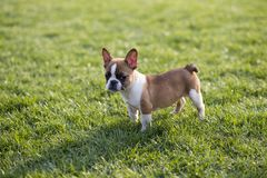 French Bulldog. The French Bulldog is a lively, smart, muscular dog with heavy bones, smooth hair, compact structure, medium or small size. The expression Royalty Free Stock Photos