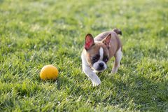 French Bulldog. The French Bulldog is a lively, smart, muscular dog with heavy bones, smooth hair, compact structure, medium or small size. The expression Stock Image