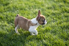 French Bulldog. The French Bulldog is a lively, smart, muscular dog with heavy bones, smooth hair, compact structure, medium or small size. The expression Stock Photo