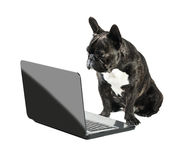 French bulldog looking into laptop Stock Images
