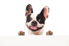 French bulldog. Looking over a board royalty free stock images