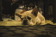 French bulldog looking sad and bored on the ground in Chiang Mai royalty free stock photos