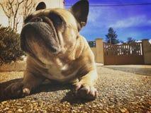 French bulldog looking at the sky stock photo
