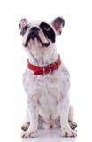French Bulldog looking up Royalty Free Stock Photos