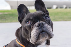 French Bulldog looking up. Looking sideways and turning the head Stock Photo