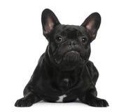 French Bulldog lying Stock Images