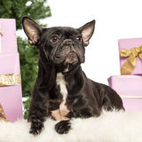 French Bulldog lying Royalty Free Stock Photos