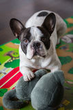 French bulldog lying on the floor. With maskot Royalty Free Stock Photography