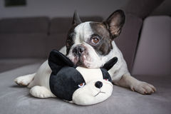 French bulldog lying with his teddy Royalty Free Stock Photo