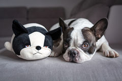 French bulldog lying with his teddy Royalty Free Stock Image