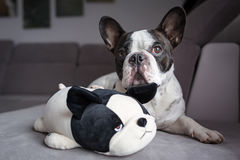 French bulldog lying with his teddy Royalty Free Stock Photos