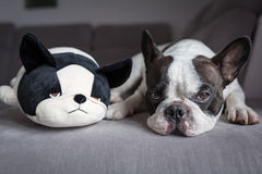 French bulldog lying with his teddy Stock Photography