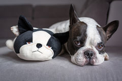French bulldog lying with his teddy Stock Images