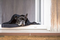 French Bulldog lying on the windowsill. Boredom. Royalty Free Stock Photos
