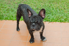 French Bulldog Male Portrait. French bulldog black portrait man Stock Photography