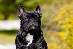 French Bulldog Male Portrait Royalty Free Stock Photography