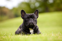 French Bulldog Male Portrait royalty free stock photo