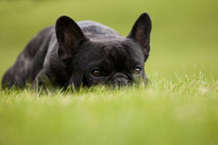 French Bulldog Male Portrait Royalty Free Stock Photos