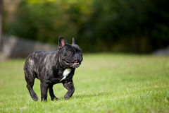 French Bulldog Male running Royalty Free Stock Photos