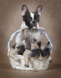 French bulldog mommy with puppies in the basket. Pure breed French bulldog mommy with puppies in the basket Stock Photography