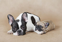 French bulldog mommy with puppy. Pure breed French bulldog mommy with puppy lying on a beige background Stock Photo