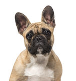 French Bulldog (7 months old) Stock Photo