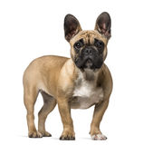 French Bulldog (7 months old) Royalty Free Stock Photography