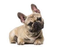 French Bulldog (9 months old) Stock Photo