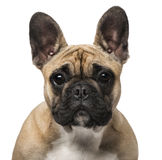 French Bulldog (7 months old) Royalty Free Stock Image