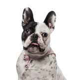 French Bulldog (18 months old) Royalty Free Stock Images