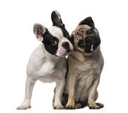 French Bulldog (7 months old), Pug (8 months old) Stock Photography