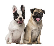 French Bulldog (7 months old), Pug (8 months old) Stock Photos