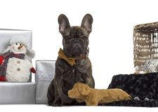 French Bulldog, 4 months old. Sitting in front of white background stock photography