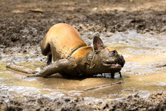 French Bulldog in a mud puddle royalty free stock photography