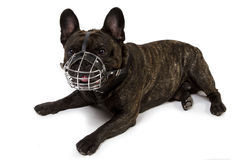 French bulldog with muzzle. On white background Royalty Free Stock Photography