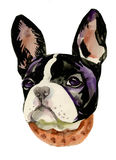French Bulldog muzzle watercolor Stock Photo