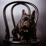 French bulldog Stock Image