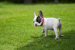 French Bulldog outside. French Bulldog puppy in the garden Royalty Free Stock Photography