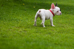 French Bulldog outside. French Bulldog puppy in the garden Stock Photography