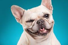 French bulldog  over blue background Stock Photo