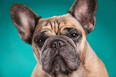French bulldog  over blue background Royalty Free Stock Photo