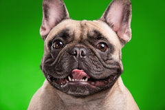 French bulldog  over green background Stock Photo