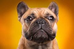 French bulldog  over orange background Royalty Free Stock Photo