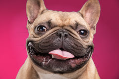 French bulldog  over pink background Stock Photo