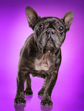 French bulldog  over purple background Royalty Free Stock Images